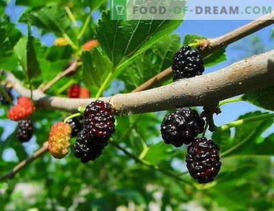 Mulberry moos: kuidas süüa korralikult