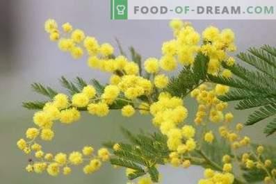 Wie man Mimosen in einer Vase flauschig hält